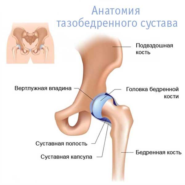 анатомия тазобедренного сустава