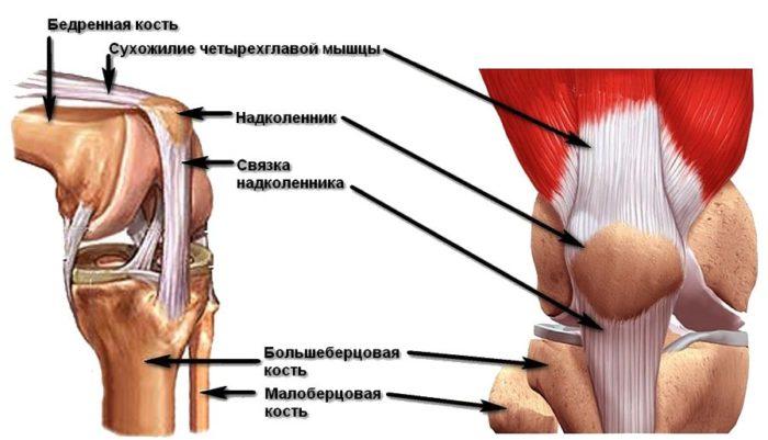 мышцы надколенника