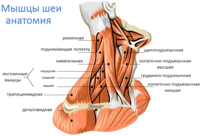 строение мышц шеи