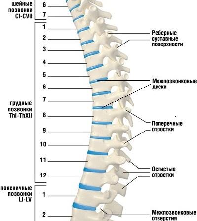 строение позвонков грудного отдела