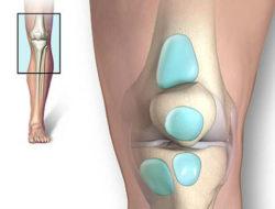 строение сустава колена