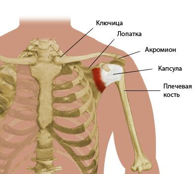 кости плеча