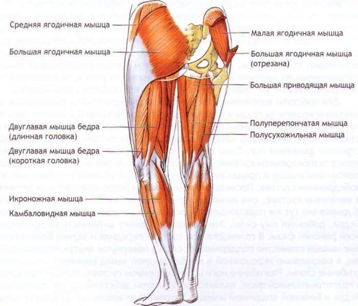 мышцы нижней части тела