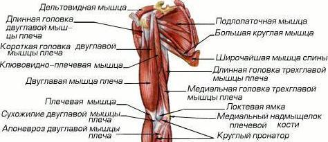 мышцы плеча