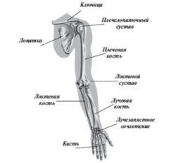 строение руки человека