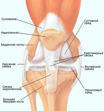 строение мышц колена
